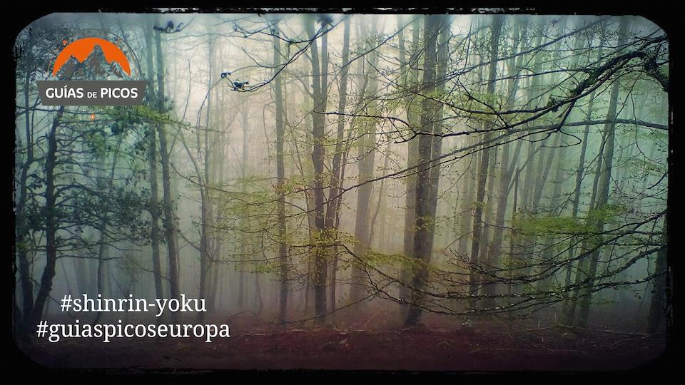 bosque de hayas con niebla en senda de los tejos