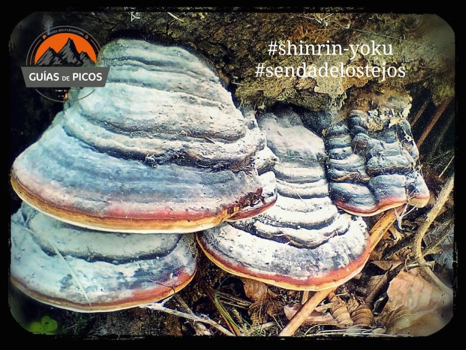 Hongos en Bosque Peñarrubia, Cantabria. Shinrin-Yoku, la magia de los árboles
